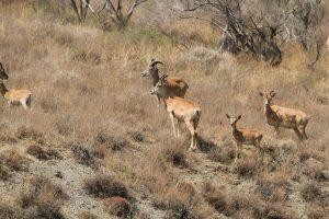Wilde Gazellen im Golestan Nationalpark
