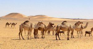 Sudan: Kamele in der Bayuda Wüste