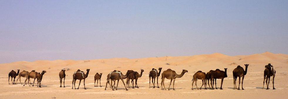 Oman Rub al-Khali Kamelherde