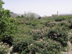 Rosengärten auf dem Djabal Akhdar